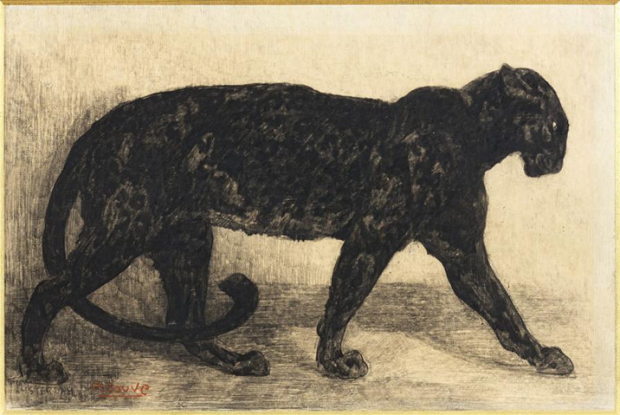 Panthère noire, 1908